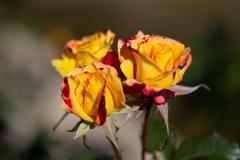 薔薇 チャールストン三姉妹