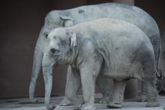 アジア象 さくらちゃんとお母さん  2倍テレプラス