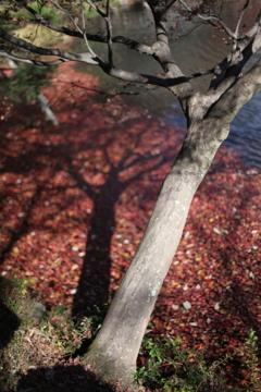東山動植物園 紅葉終盤その③ 水面の紅葉