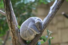 Don't disturb コアラさん爆睡中