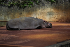 カバさん 東山動物園