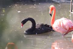 ブラックスワン フラミンゴ池 東山動植物園