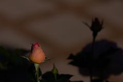 薔薇のつぼみ ②