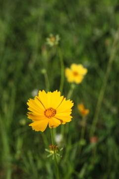 黄色いお花 川原のお散歩にて