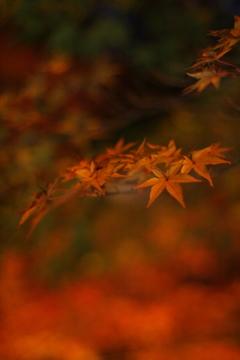東山植物園 紅葉ライトアップ最終日その②