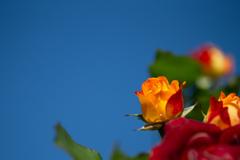 薔薇と青空