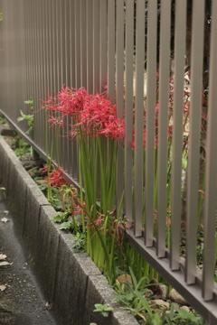 柵と彼岸花