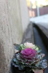 苔&コンクリート その④ 葉牡丹