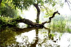 貯水池の老樹