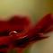 滴の中の花芯