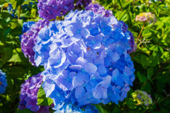 朝の紫陽花