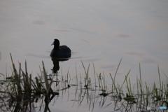 琵琶湖のワタリドリ