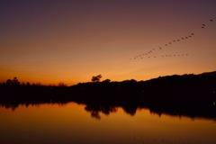 夕日渡る白鳥
