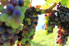 ワインのなる木