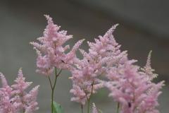 ホームの花壇に咲く花 ピンクの花
