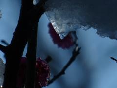 梅の枝の雪