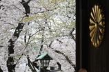 桜が恋しい