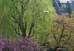 不忍池の桜と柳