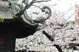 桜が恋しい 灯篭