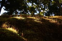陽ざしの中の苔
