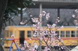 十月桜の向こうに