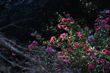 鹿島神宮 移ろいゆく光に咲く