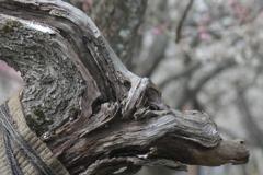 老木と紅梅
