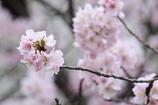 桜が恋しい 微笑