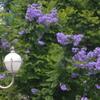 憧れのジャカランダの花