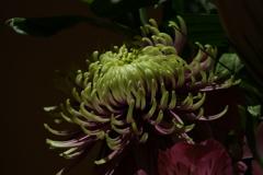 宿の花々 菊