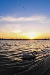 夕陽と白鳥