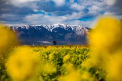 菜の花畑と比良山系