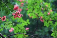 雨のサルスベリ