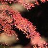 幻想の赤葉