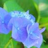 紫陽花のティアラ