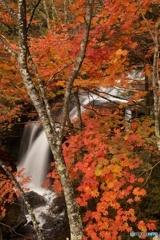 竜頭の滝のカエデ