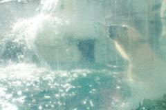 白クマちゃん 泳ぐ