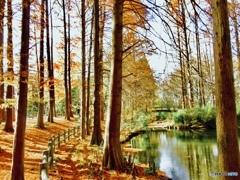 メタセコイア と 池