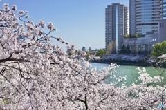 水都大阪と桜 ①