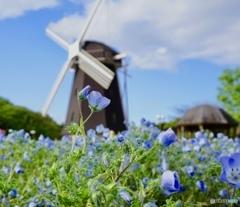ネモフィラの花園と風車