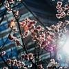 輝け!なんとか桜‼︎