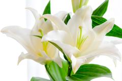 窓辺に咲く白百合