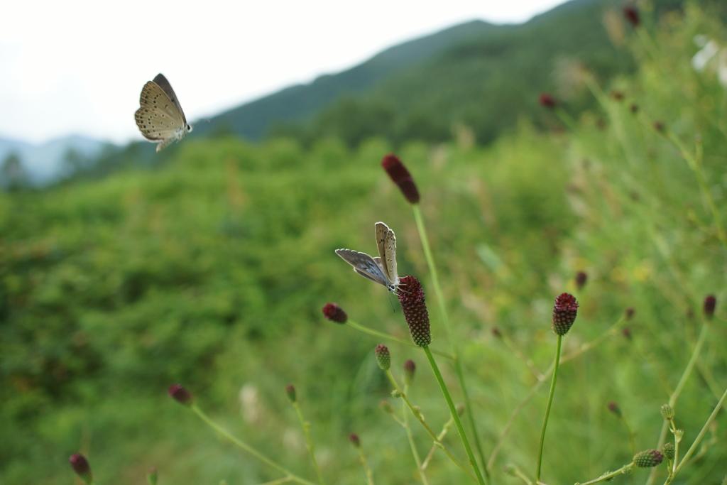 ゴマシジミ 2017/08/14 求愛
