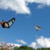 アサギマダラ 飛翔