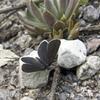 クロツバメシジミ第1化 開翅