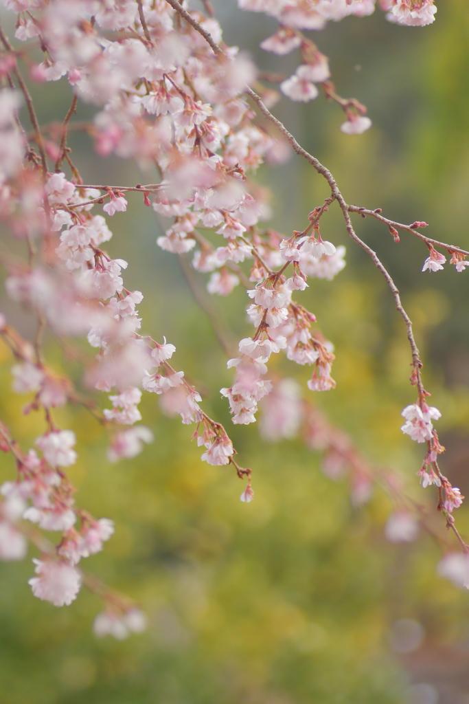 十月桜 **