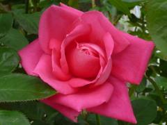 幾重にも バラの花びら ピンク色