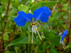 露草や その青色に 染まりたい