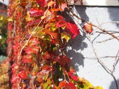 秋の陽や 蔦鮮やかに 家の壁