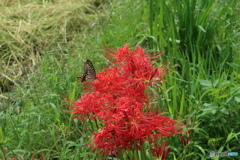 農道に咲く彼岸花